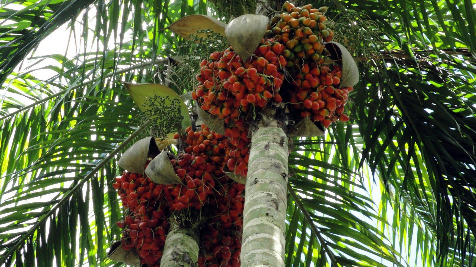 Palmeira pupunha se destaca como matéria-prima do palmito