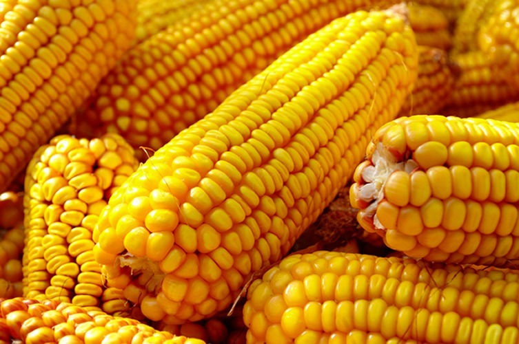 Colheita do milho safrinha avança no Paraná