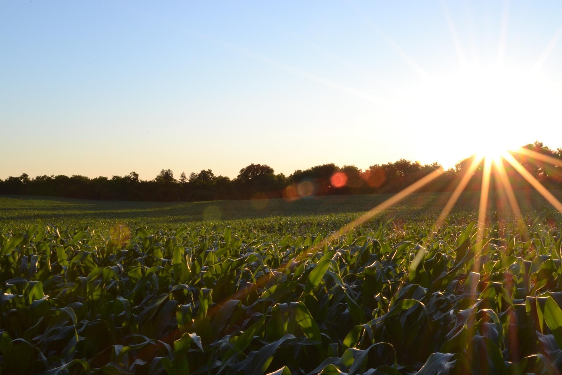 Colheita de milho na Argentina chega a 44,2%