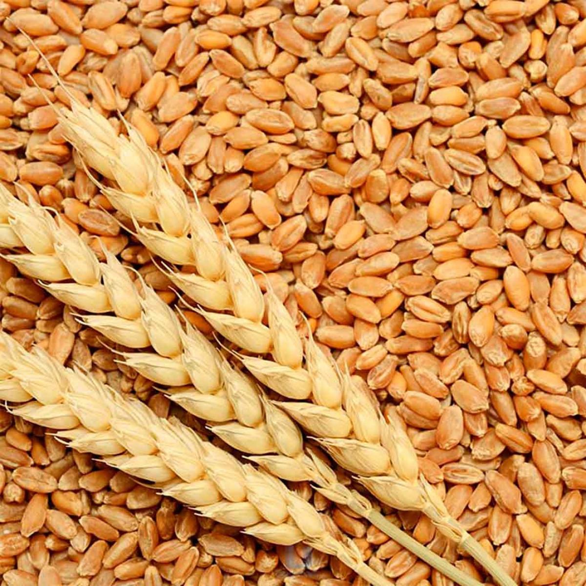 Produção de trigo na Argentina: avanços do plantio do cereal